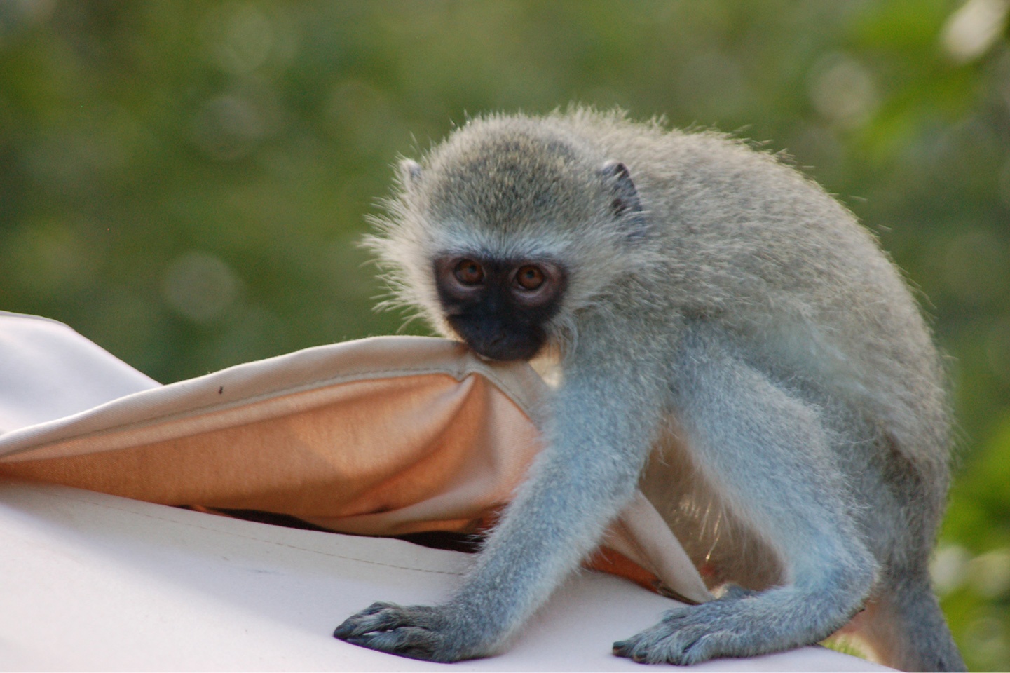 Vervet monkey South Africa